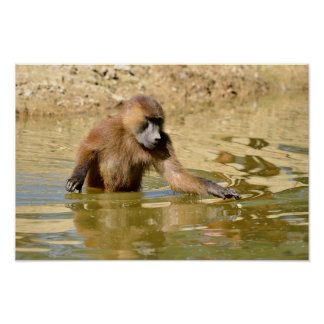 Guinea baboon in water poster