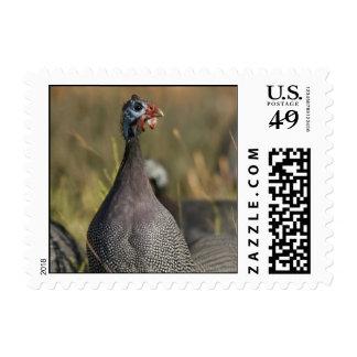 Guinea Fowl postage stamp
