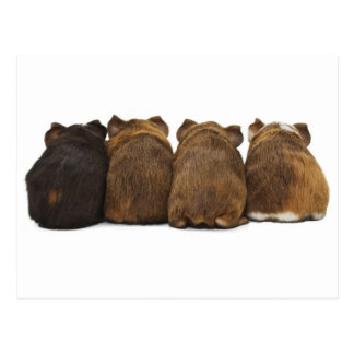 Guinea Pig Butts Postcard
