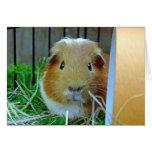 Guinea Pig Card
