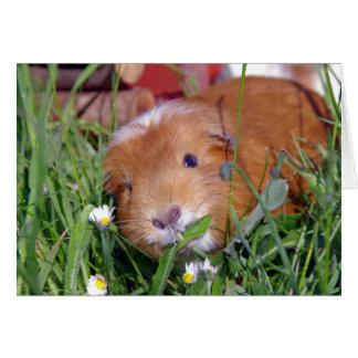 guinea pig eating grass card