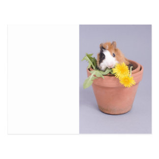 guinea pig in a flowerpot postcard