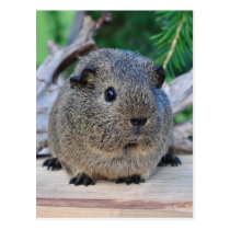 Guinea Pig Postcard