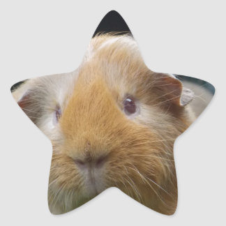 Guinea pig star sticker