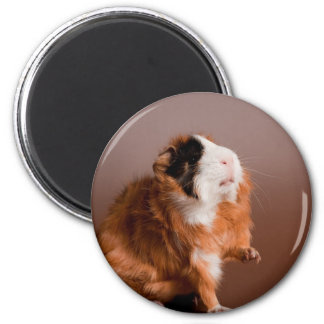 guinea pigs 2 inch round magnet