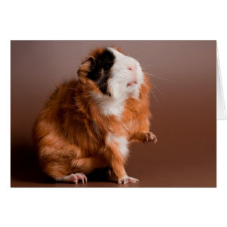 guinea pigs cards