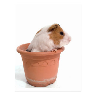 guinea pigs in a flowerpot cartes postales