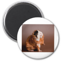 guinea pigs magnet