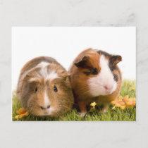 guinea pigs on a lawn postcard