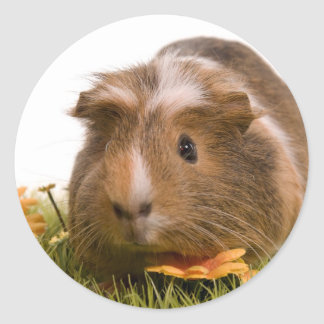 guinea pigs one has lawn
