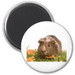 guinea pigs one has lawn magnets