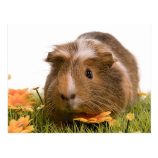 guinea pigs one has lawn post card