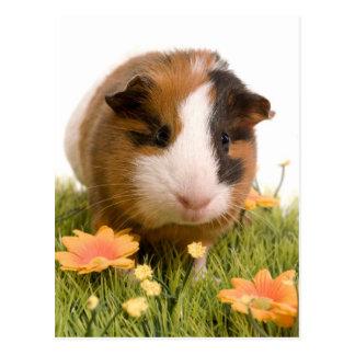 guinea pigs one has lawn postcard