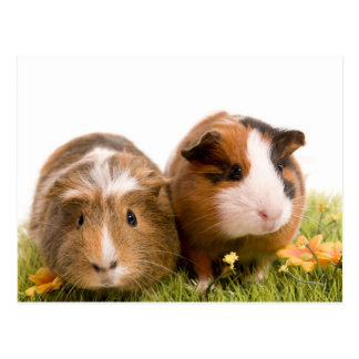 guinea pigs one has lawn postcards