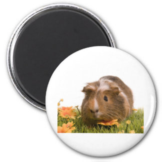 Guinea pigs se tiene lawn imán redondo 5 cm