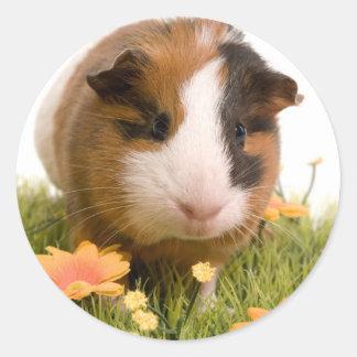 Guinea pigs se tiene lawn pegatina redonda
