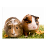Guinea pigs se tiene lawn tarjetas postales