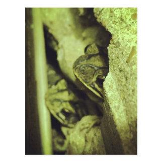 Gulf Coast Toad Postcard