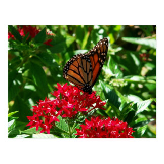 Gulf Fritillary on Red Penta Post Cards