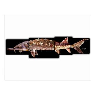 Gulf Sturgeon - Acipenser oxyrinchus desotoi Post Cards
