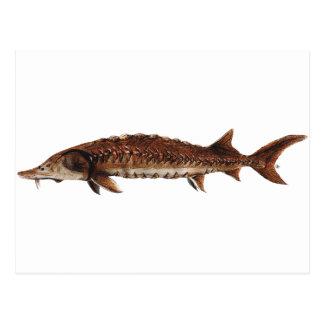 Gulf Sturgeon - Acipenser oxyrinchus desotoi Post Card