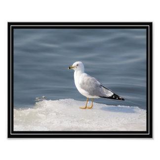 Gull on ice photo print