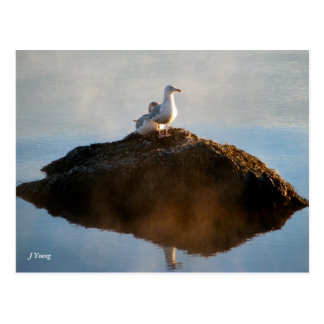 Gulls by Judy Young Postcard