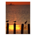 Gulls on pilings in Laguna Madre, South Padre Postcard