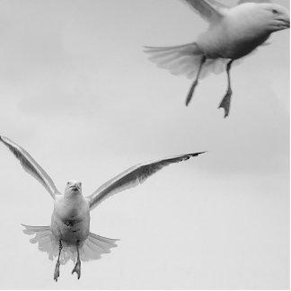 gulls photo cut out