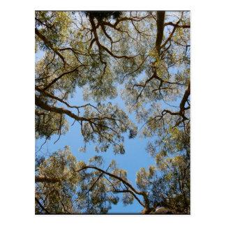 Gum Trees against a Blue sky Postcard