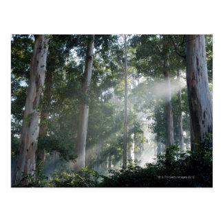 Gum trees (Eucalyptus) in rain forest Tokai Postcard