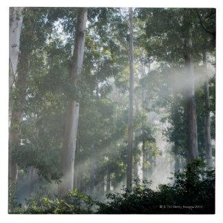 Gum trees (Eucalyptus) in rain forest Tokai Tile
