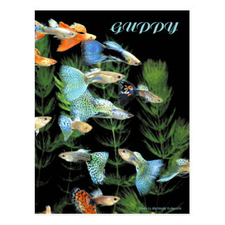 Guppies Postcard