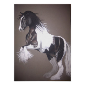 Gypsy vanner stallion native cob poster