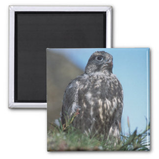 gyrfalcon, Falco rusticolus, juvenile getting 2 Magnet