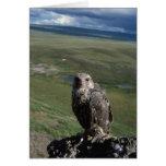 gyrfalcon, Falco rusticolus, juvenile getting Cards