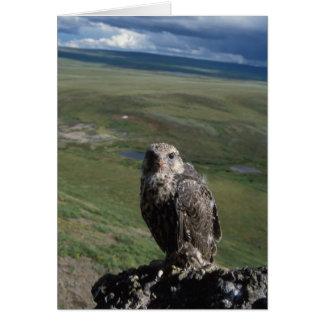 gyrfalcon, Falco rusticolus, juvenile getting Greeting Card