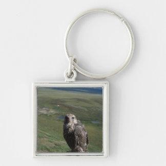 gyrfalcon, Falco rusticolus, juvenile getting Key Chains