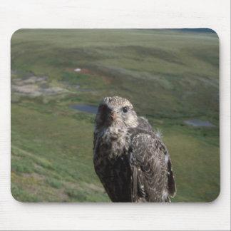 gyrfalcon, Falco rusticolus, juvenile getting Mouse Pad