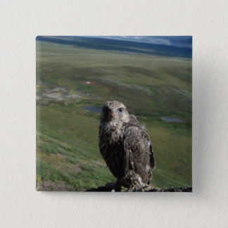 gyrfalcon, Falco rusticolus, juvenile getting Pinback Button
