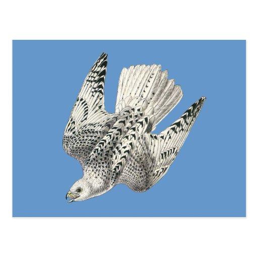 Gyrfalcon Falcon Diving Vintage Art Postcard