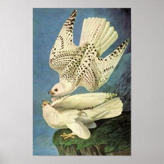 Gyrfalcon, John James Audubon Poster