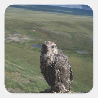 gyrfalcon, rusticolus de Falco, el conseguir Calcomanía Cuadradase
