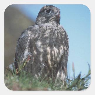 gyrfalcon, rusticolus de Falco, joven que consigue Calcomania Cuadradas Personalizadas