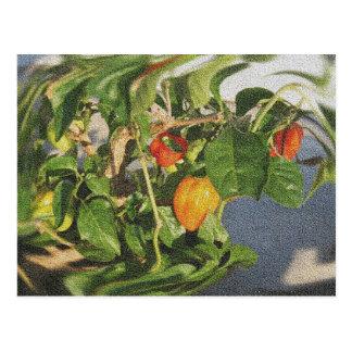 Habanero Peppers on Plant sandstone Postcard