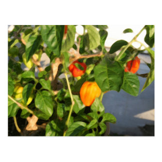 Habanero plant photograph with peppers postcard