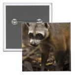 Habituated Crab-eating Raccoon Procyon 2 Inch Square Button