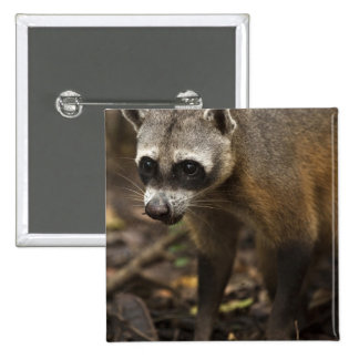 Habituated Crab-eating Raccoon Procyon Button