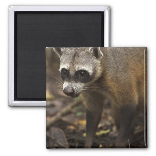 Habituated Crab-eating Raccoon Procyon 2 Inch Square Magnet