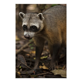 Habituated Crab-eating Raccoon Procyon Poster